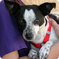Terrier (Unknown Type, Small)/Chihuahua Mix Dog for adoption in Palmdale, California - Helena