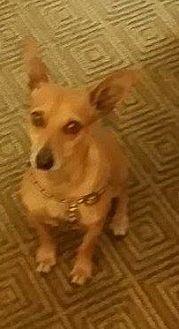 Chihuahua Mix Dog for adoption in Lithia, Florida - NACHO-15