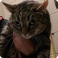 Adopt A Pet :: Kit Kat - Parma, OH