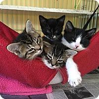 Adopt A Pet :: Walt, Elroy, Vin & Simi! - Island Park, NY