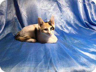 Domestic Shorthair Kitten for adoption in Sarasota, Florida - Mona