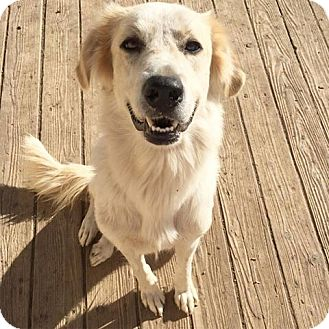 Great Pyrenees/Akbash Mix Dog for adoption in Fort Collins, Colorado - Zephyr (FORT COLLINS)