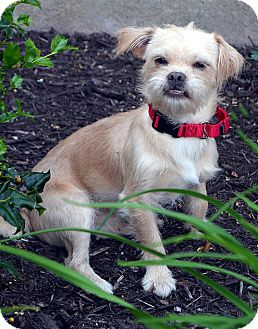Cairn Terrier/Terrier (Unknown Type, Small) Mix Dog for adoption in Bridgeton, Missouri - Wally-Adoption pending