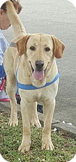 Labrador Retriever Mix Dog for adoption in Cleveland, Texas - Jake