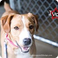 Adopt A Pet :: Ivan - Kendallville, IN