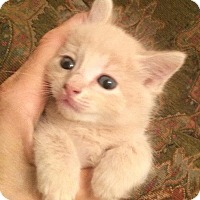 American Shorthair Kitten for adoption in Metairie, Louisiana - Buttercup