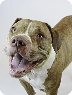 Mastiff/Bulldog Mix Dog for adoption in Milwaukee, Wisconsin - ZEUS