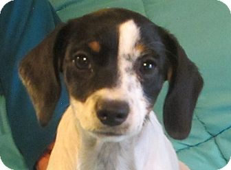 Beagle/Rat Terrier Mix Puppy for adoption in Allentown, Pennsylvania - Twinkie