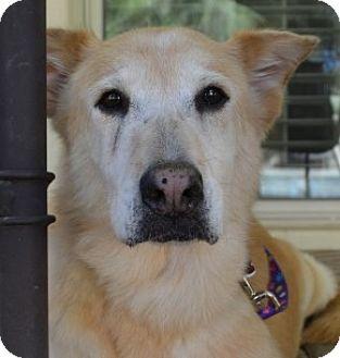 Golden Retriever/German Shepherd Dog Mix Dog for adoption in Scottsdale, Arizona - Spice