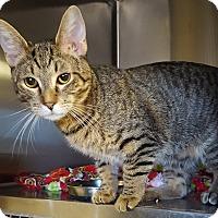 Adopt A Pet :: PADFOOT - Phoenix, AZ