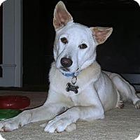 Adopt A Pet :: Niko (NC) - Hooksett, NH