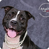 Pit Bull Terrier Mix Dog for adoption in Cincinnati, Ohio - Journey