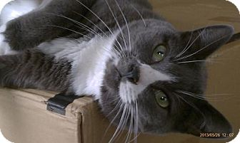 Russian Blue Cat for adoption in NYC, New York - Oscar CT