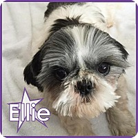 Adopt A Pet :: Ellie Mae II - Excelsior, MN