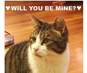 Domestic Shorthair Cat for adoption in New York, New York - KINGSTON'