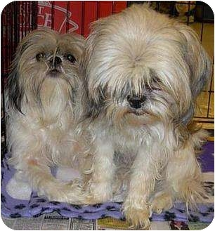 Shih Tzu Dog for adoption in Lucerne Valley, California - 7 purebreds