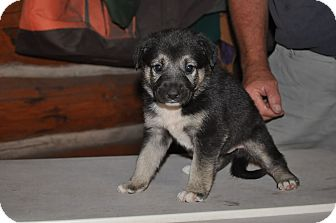 German Shepherd Dog Mix Puppy for adoption in Hamilton, Montana - Raccoon