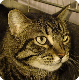 Domestic Shorthair Cat for adoption in El Cajon, California - Amy