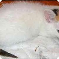Adopt A Pet :: Calico girl - Etobicoke, ON