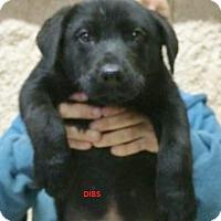 Adopt A Pet :: Dibs - Wimberley, TX