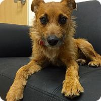 Adopt A Pet :: Cosima - Mission Viejo, CA