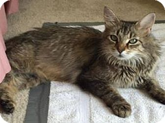 Maine Coon Cat Rescue Kentucky