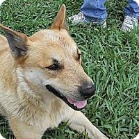 keller tx   german shepherd dog meet star a dog for