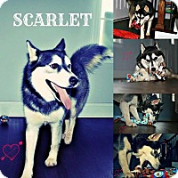 Adopt A Pet :: Scarlet - Walton County, GA