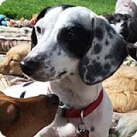 Adopt A Pet :: Lannah Bandana - Houston, TX