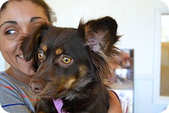 Dachshund/Papillon Mix Puppy for adoption in Albuquerque, New Mexico - Shorty