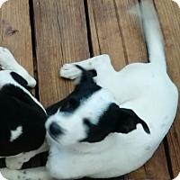 Adopt A Pet :: Macy - springtown, TX