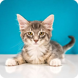Domestic Shorthair Kitten for adoption in Chandler, Arizona - Jibblet