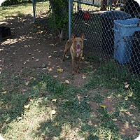 Australian Kelpie Mix Dog for adoption in Fort Worth, Texas - Mya
