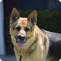 German Shepherd Dog Dog for adoption in Downey, California - Colton