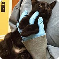 American Shorthair Kitten for adoption in Metairie, Louisiana - Christian