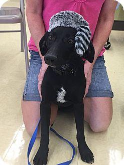 Labrador Retriever Mix Puppy for adoption in Ringwood, Illinois - Opie