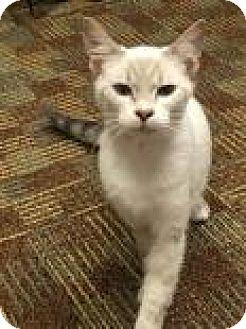 Domestic Shorthair Cat for adoption in Columbus, Georgia - Platypus 1862