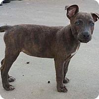 Labrador Retriever/German Shepherd Dog Mix Puppy for adoption in Tampa, Florida - Annie