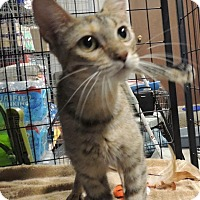 Adopt A Pet :: Clove - Sullivan, MO