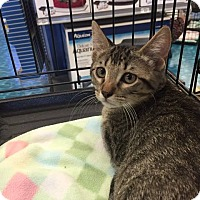 Domestic Shorthair Kitten for adoption in Mansfield, Texas - Georgio