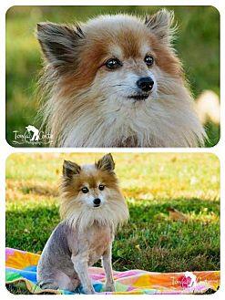 Pomeranian Dog for adoption in Fairfield, Ohio - Tucker