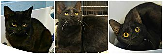 Domestic Shorthair Cat for adoption in Forked River, New Jersey - Cricket
