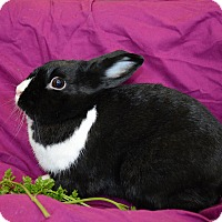 Dwarf Mix for adoption in Chicago, Illinois - Prarie