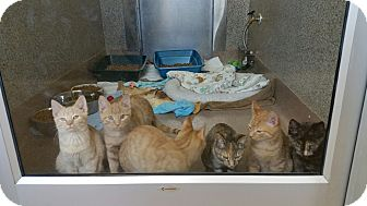 Domestic Shorthair Kitten for adoption in Chambersburg, Pennsylvania - Desi
