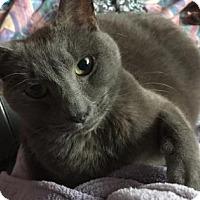 Adopt A Pet :: Bleau - Lowell, MA