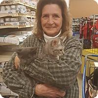 Domestic Shorthair Kitten for adoption in Griffin, Georgia - Bosley