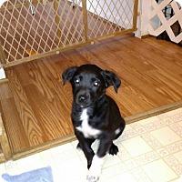 Adopt A Pet :: Holly - Pittsboro, NC