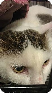 Domestic Shorthair Cat for adoption in Montreal, Quebec - Kiki