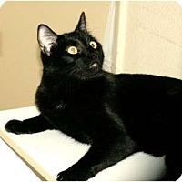 Adopt A Pet :: lap cat Lola - Scottsdale, AZ