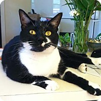 Adopt A Pet :: Mr. Little Kitty - Merrifield, VA
